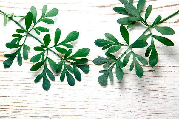 Duas folhas de arruda sobre uma madeira branca de madeira.