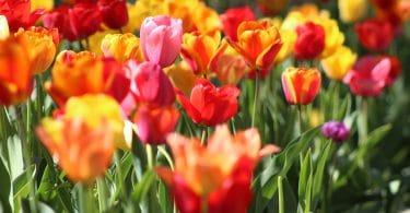 Flores coloridas: pink, vermelho, laranja e amarelo