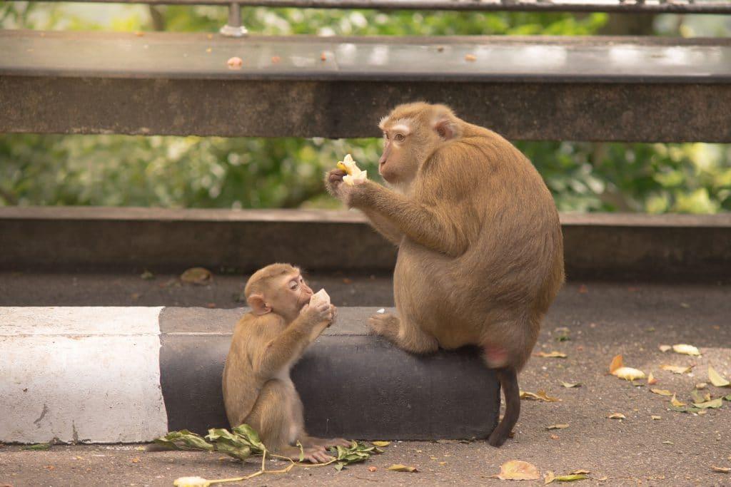 dois macacos pequenos, no asfalto, comendo coco