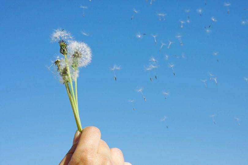Mãos femininas segurando flores dente-de-leão soltando pétalas ao vento
