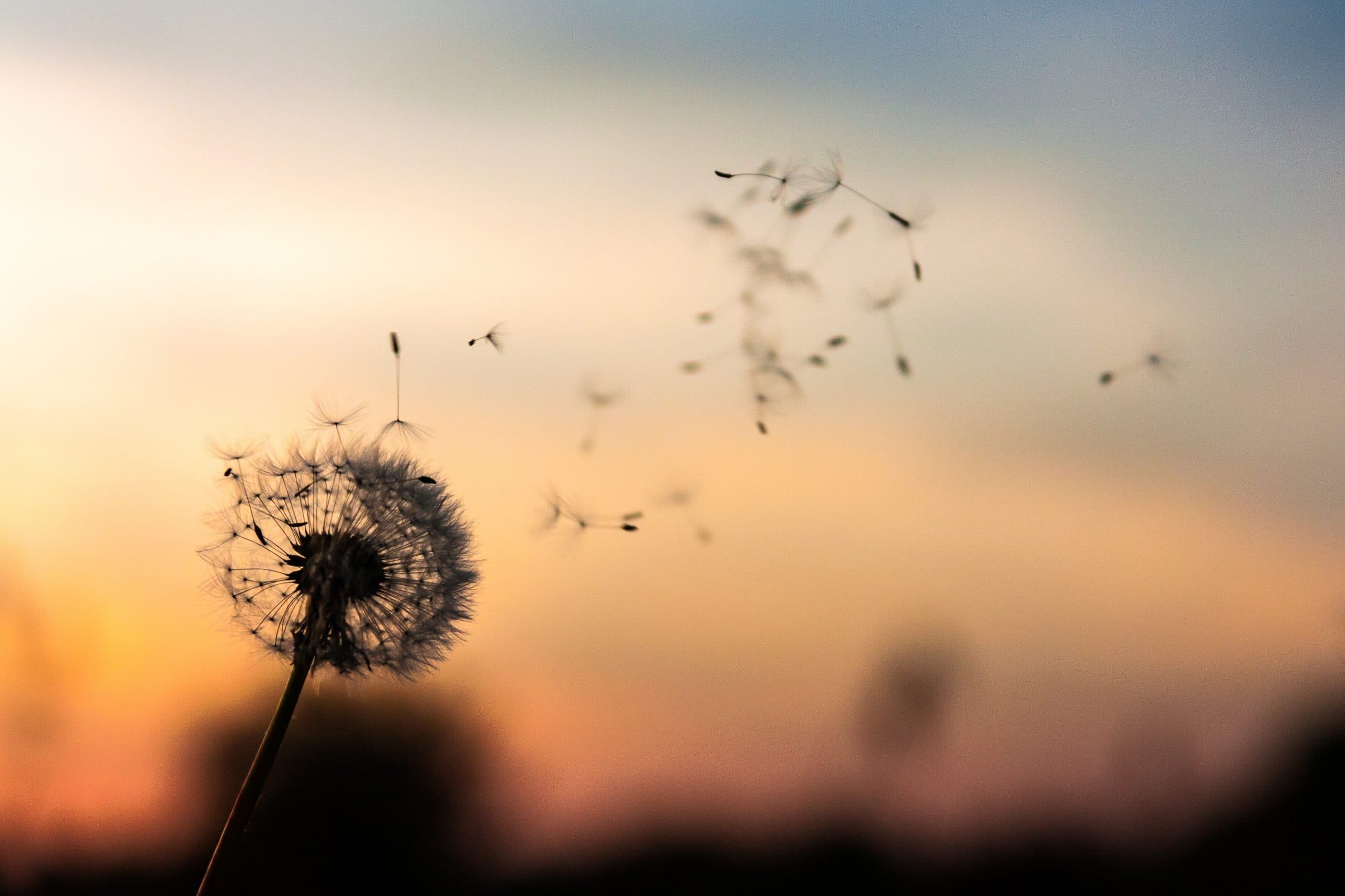 Flor dente de leão se desfazendo com o vento