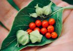 Withania somnifera em planta e sementes