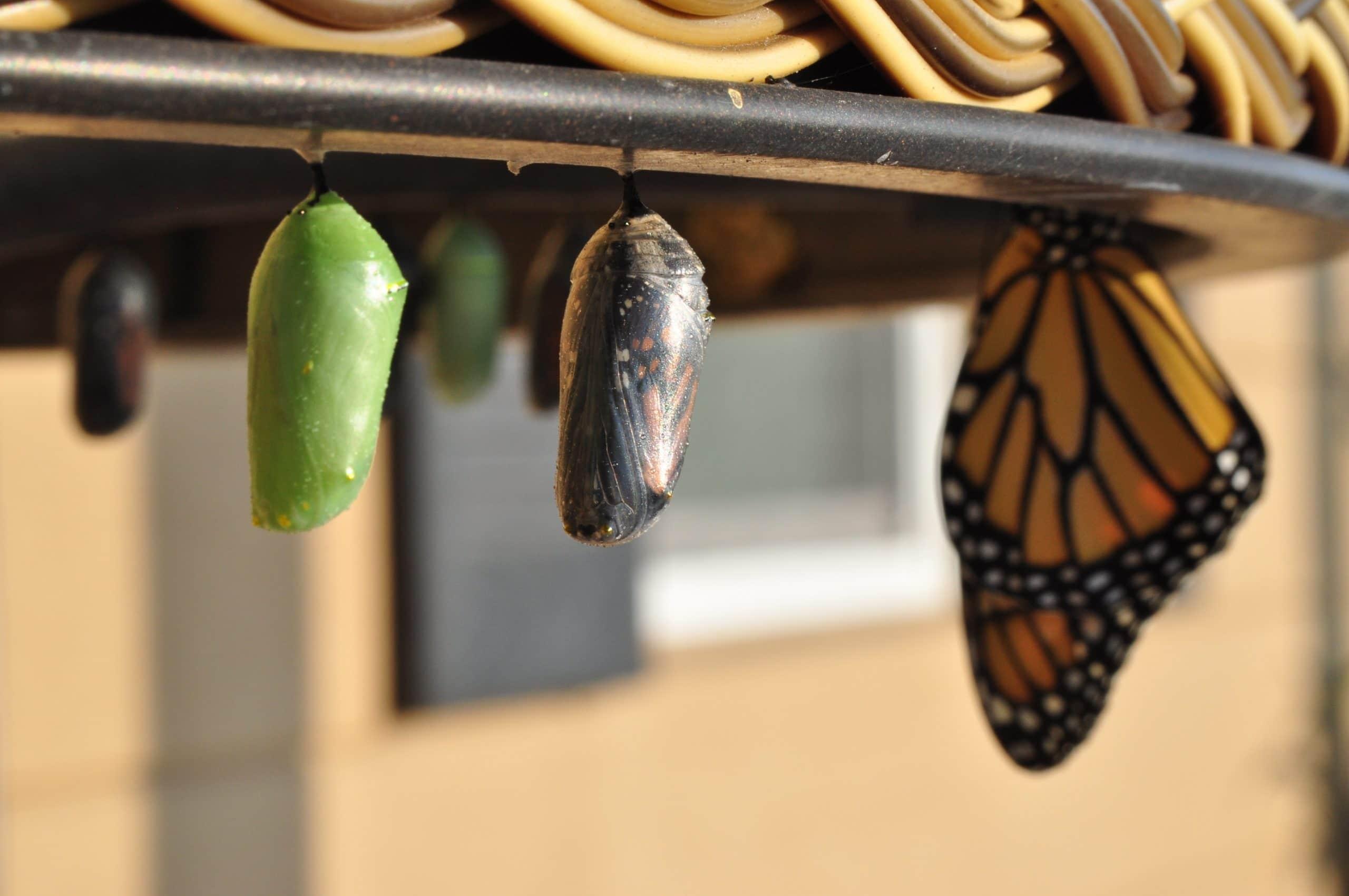 Três fases da borboleta.