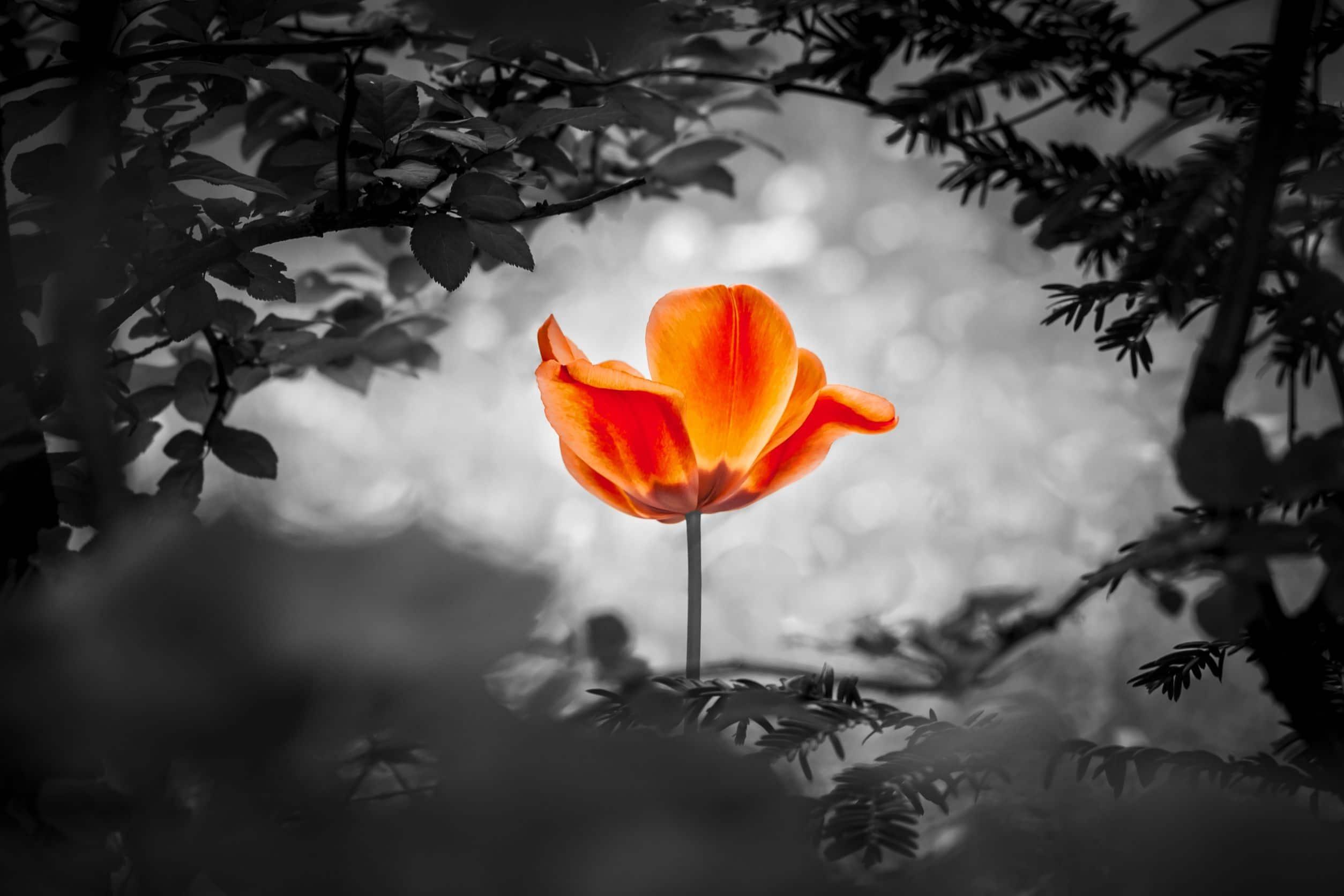 Rosa da cor laranja em meio à plantas em preto e branco.