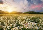 Campo florido e montanhas no fundo