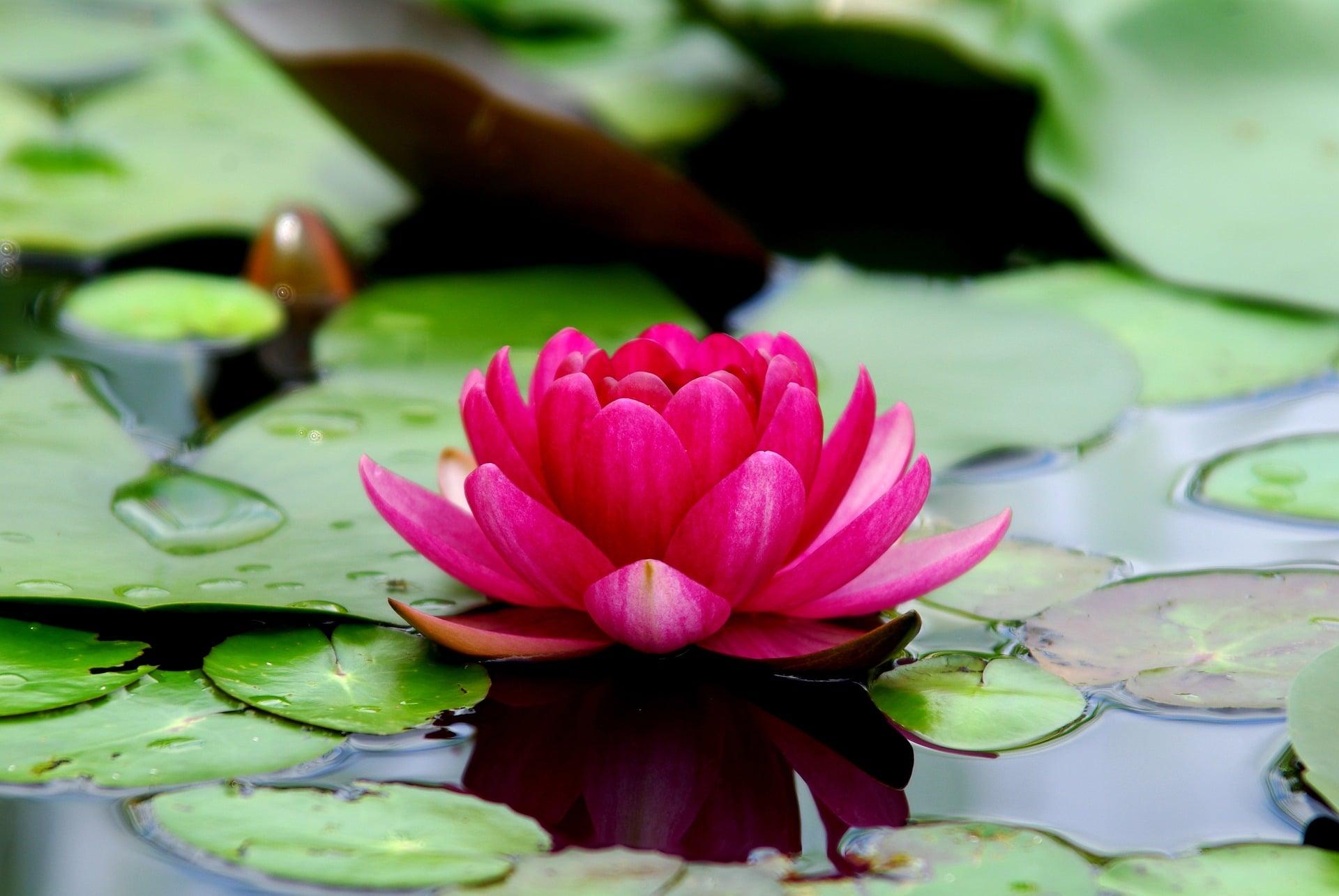 Flor De Lotus Conheca Sua Simbologia E Curiosidades