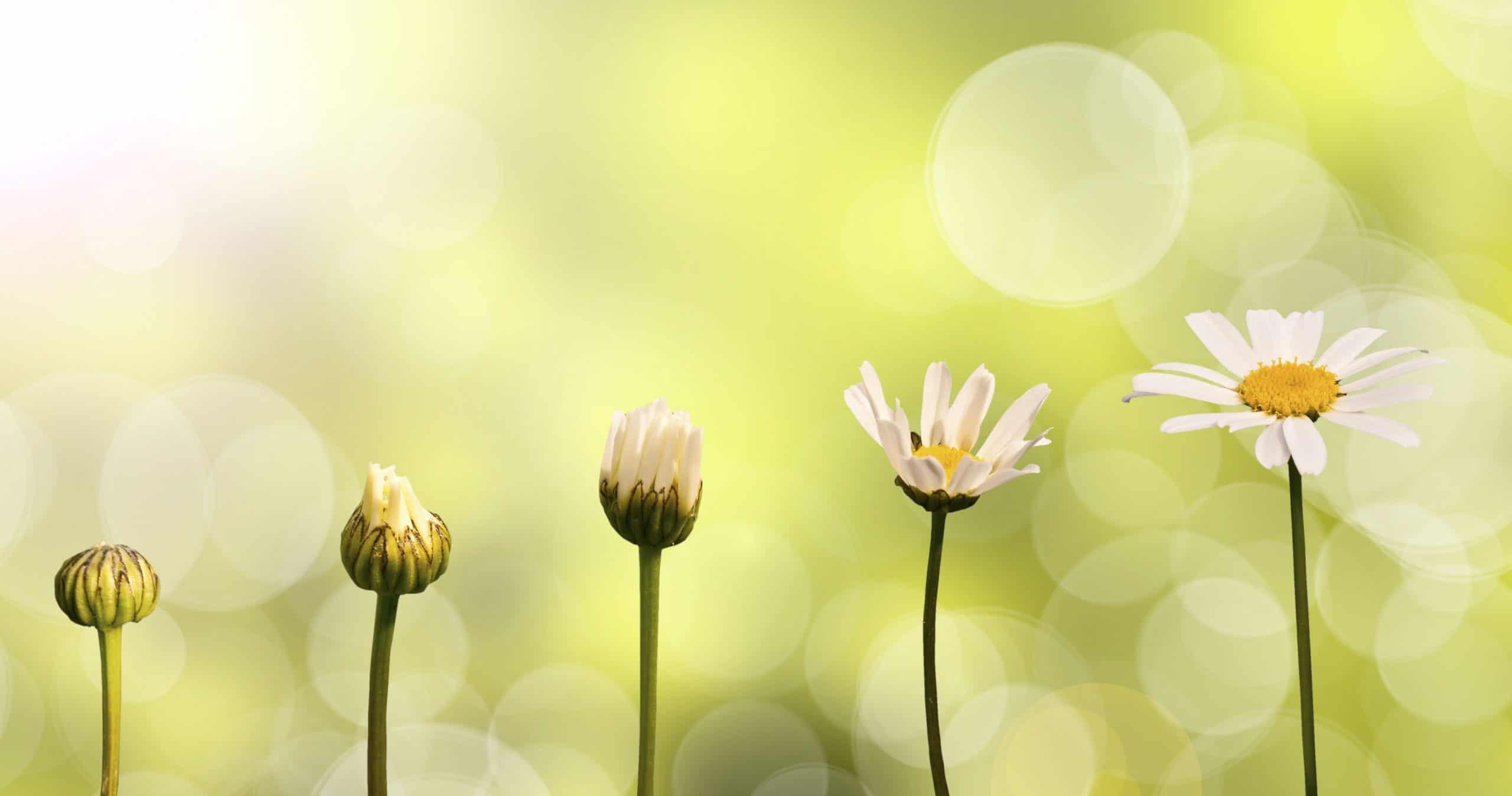 Fase de transformação de uma flor.