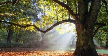 Árvore carvalho com folhas ao chão e luz do sol refletida