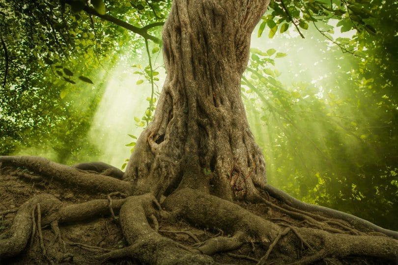 randes raízes de árvores e sol em uma floresta verde