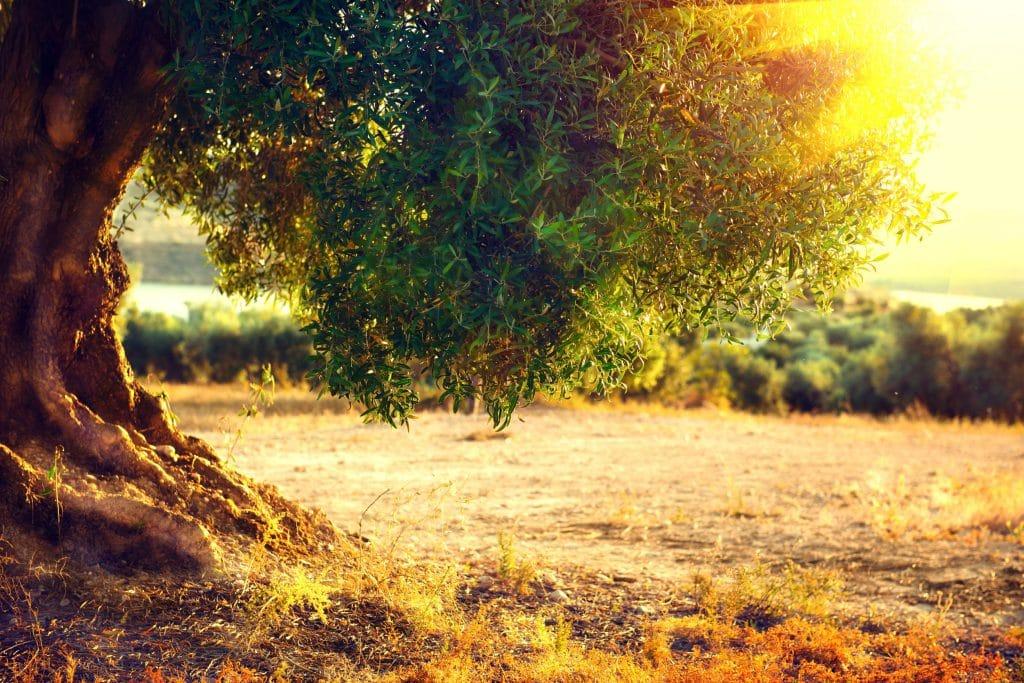 Plantação de oliveiras ao pôr do sol