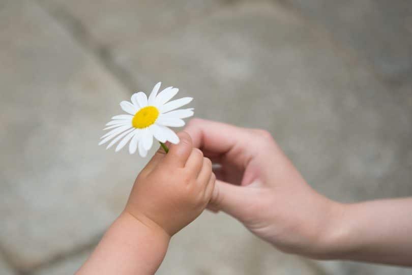 Mão infantil entregando Margarida para outra mão.