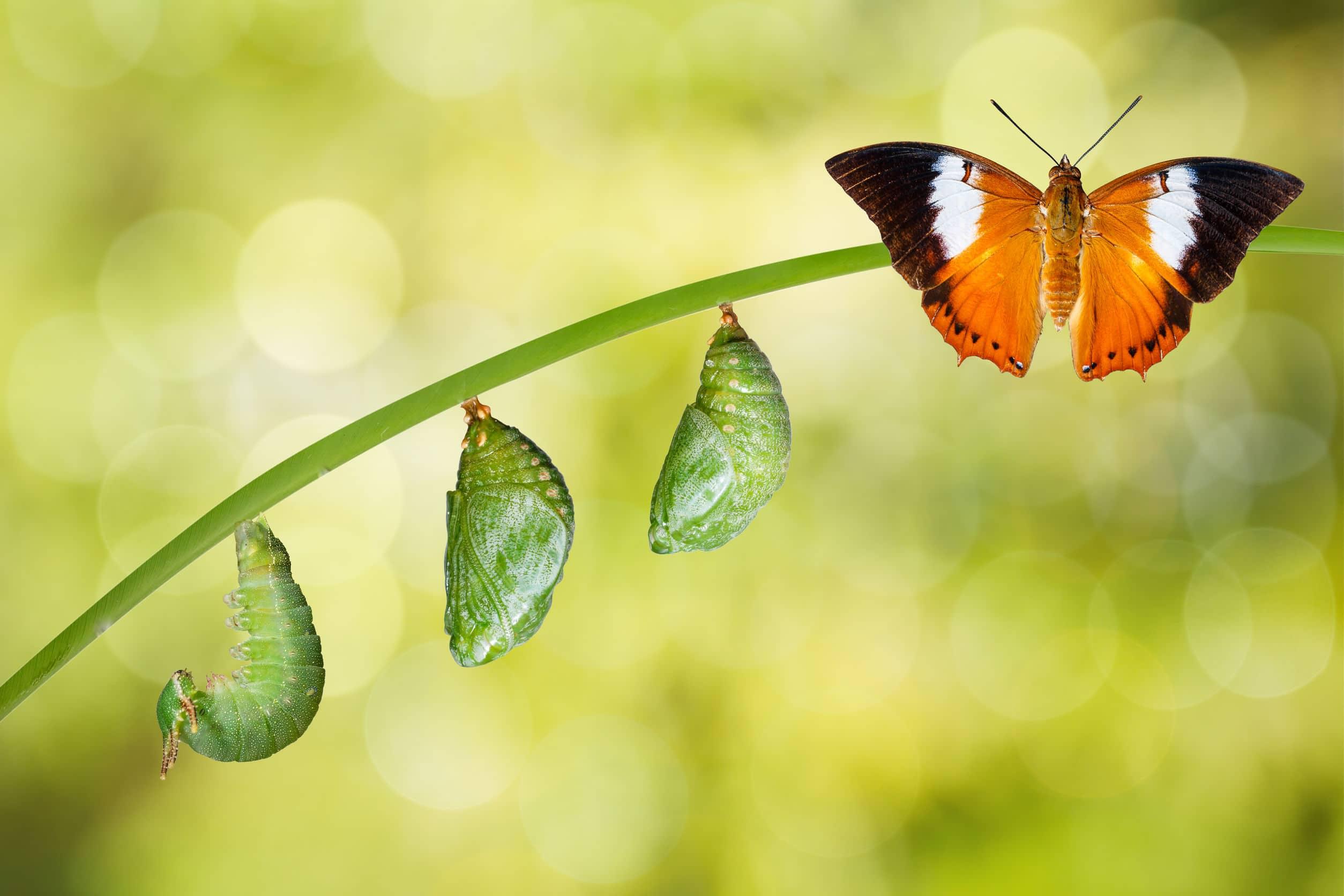 Fases da borboleta em um pequeno galho.