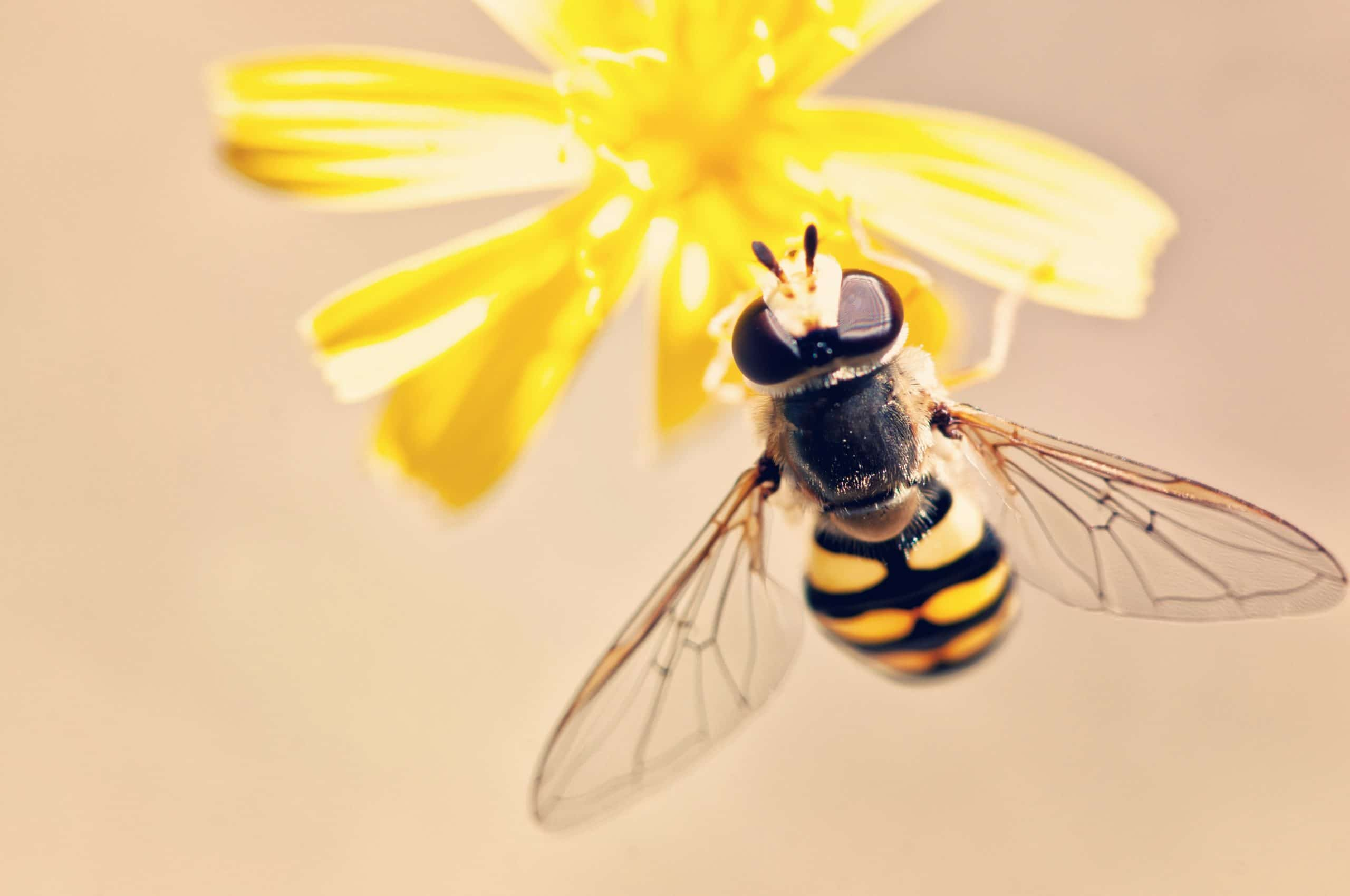 Abelha pousada em flor amarela