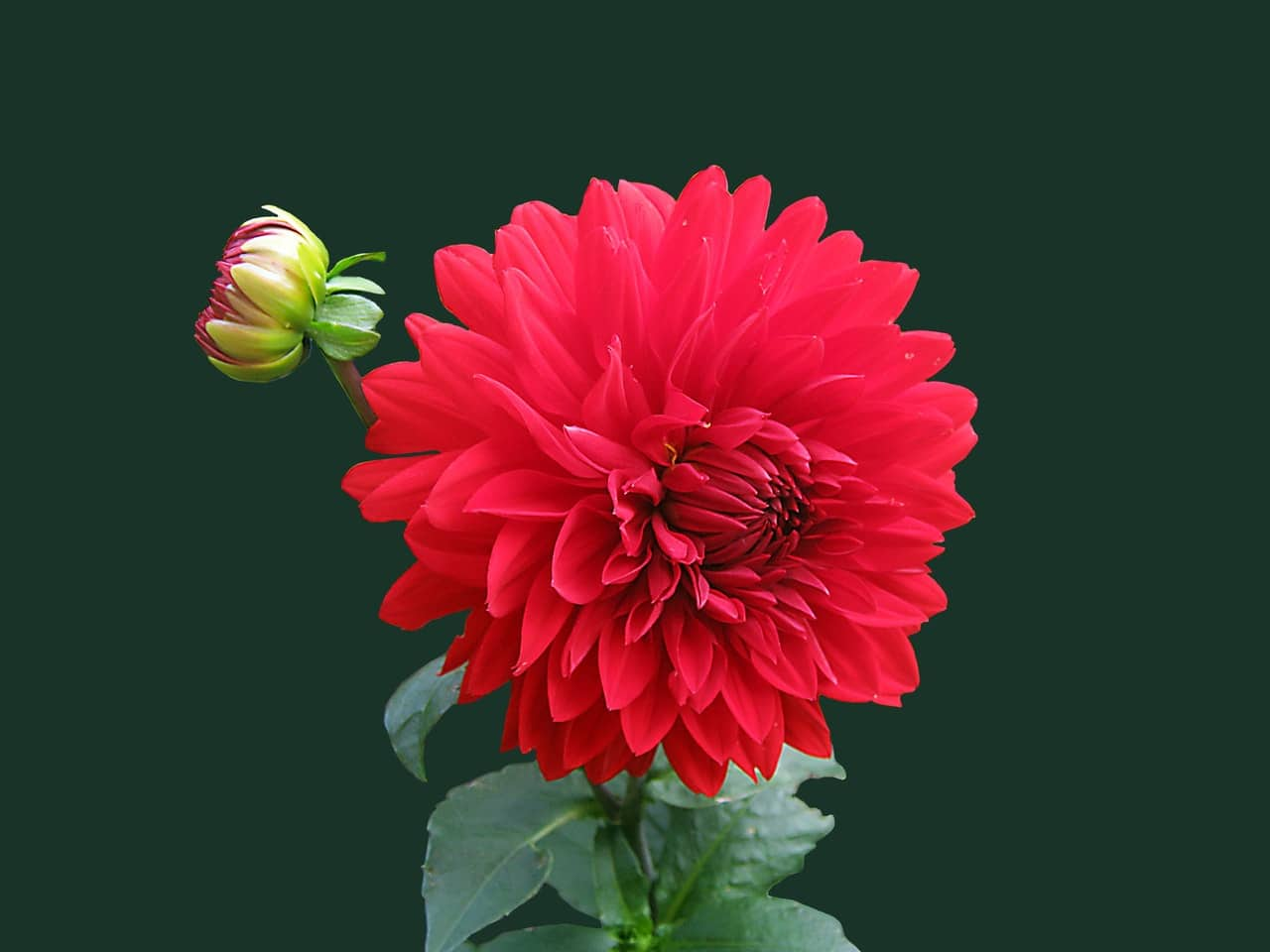 Flor vermelha desabrochando