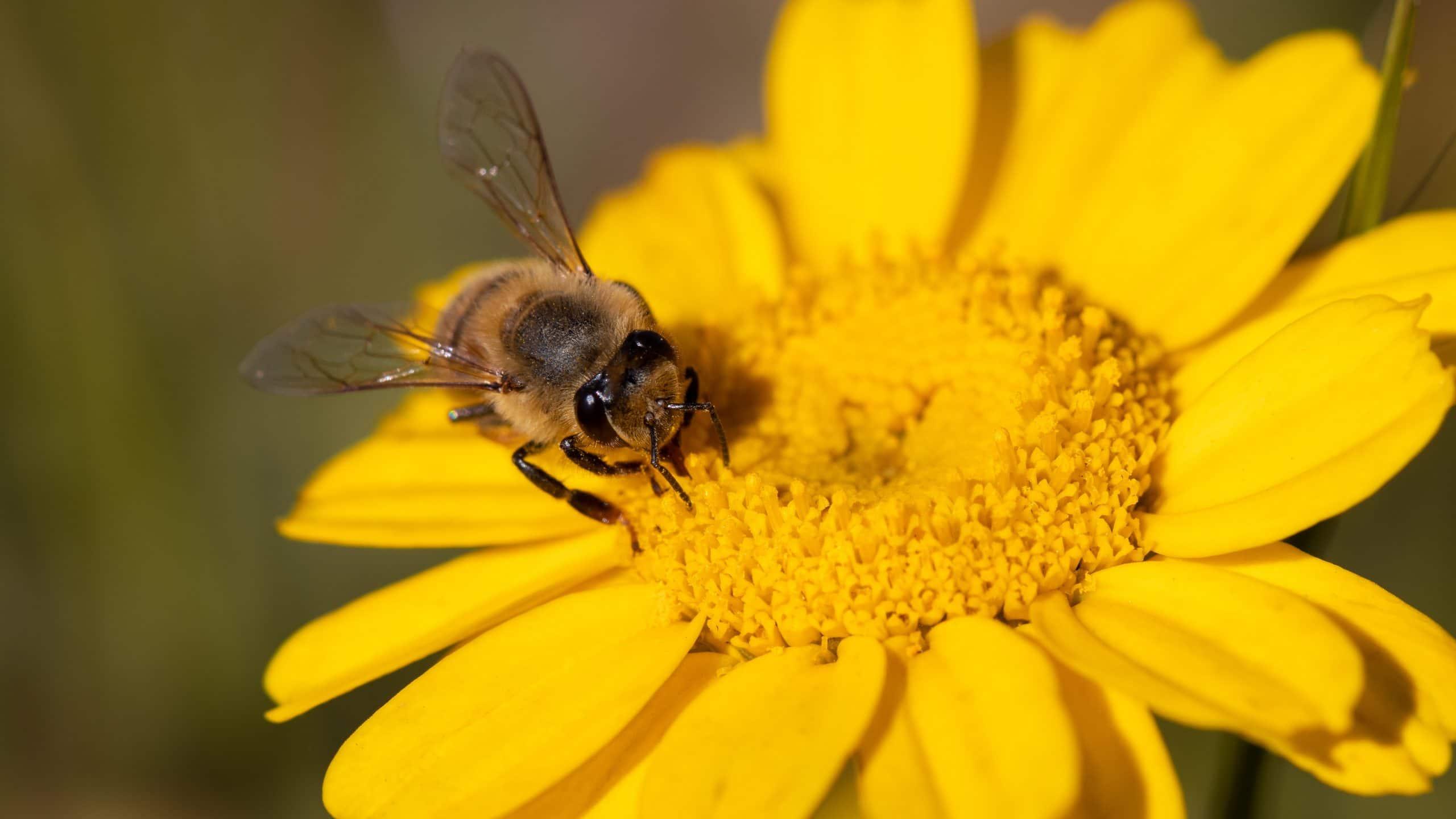Abelha em cima de flor amarela