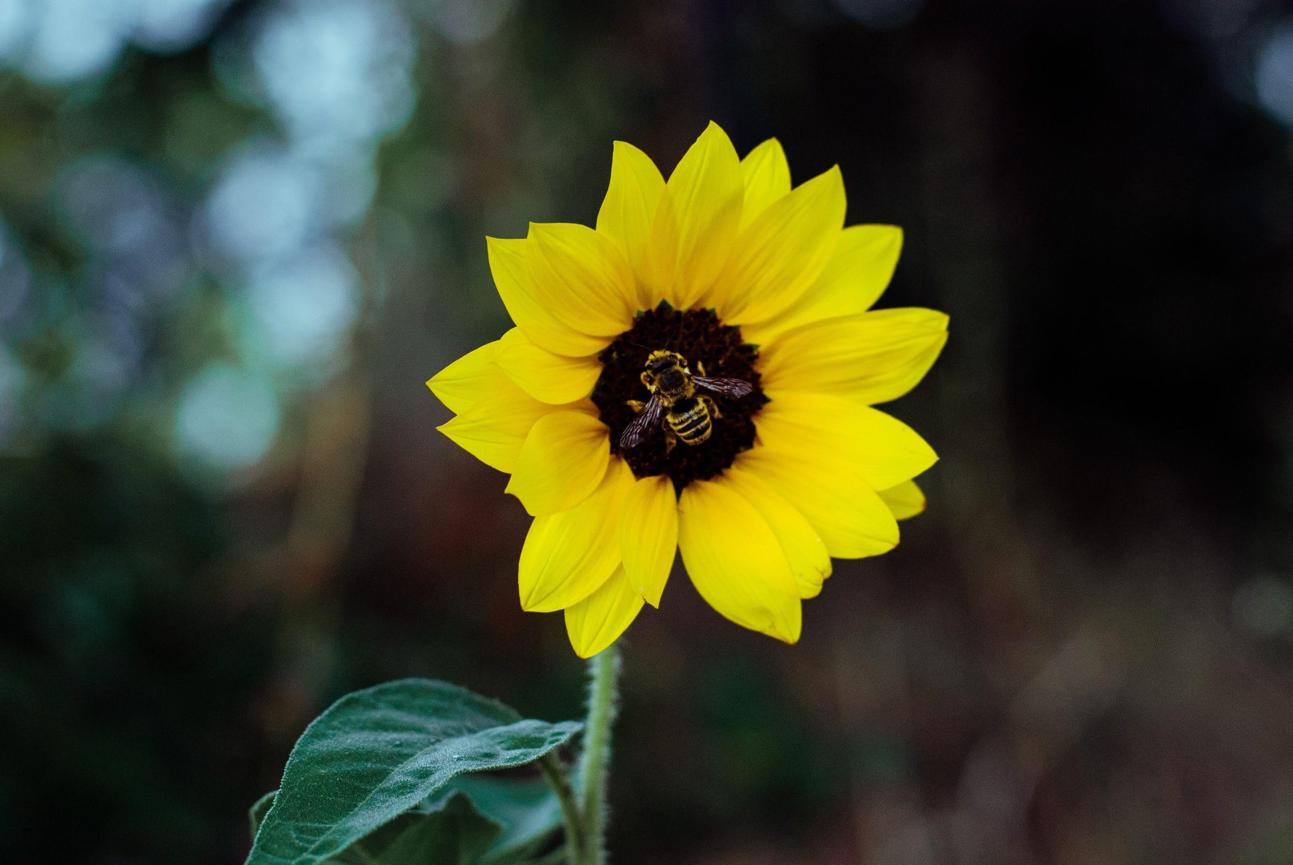 Girassol amarelo com abelha em seu miolo.