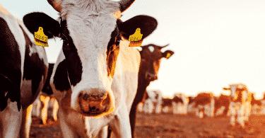 Vacas numa fazenda de pecuaria