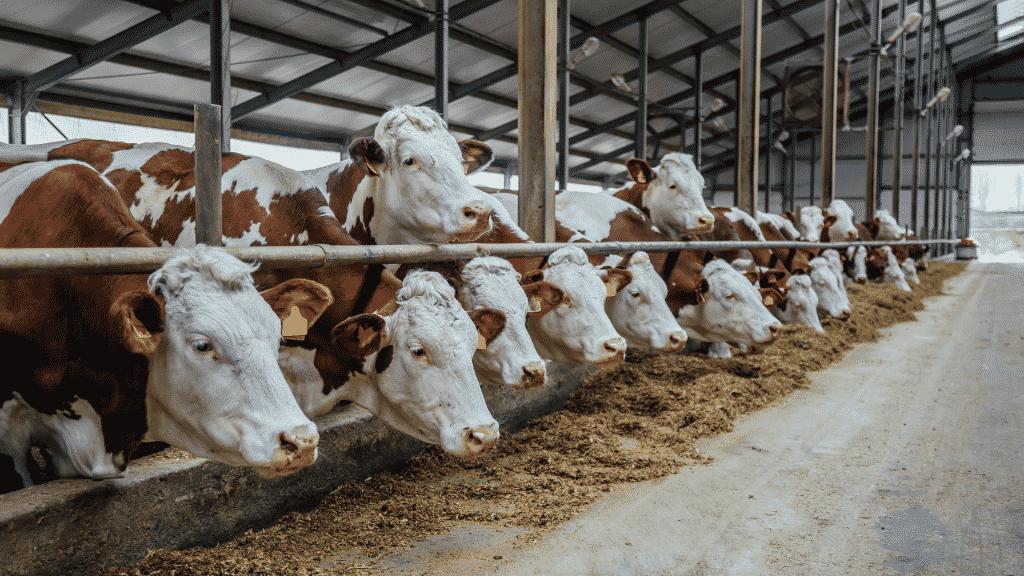 Vacas em fazenda de pecuária