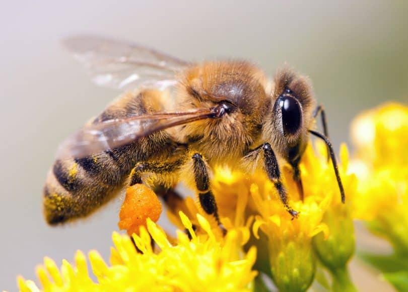 Abelha coletando néctar de uma flor.