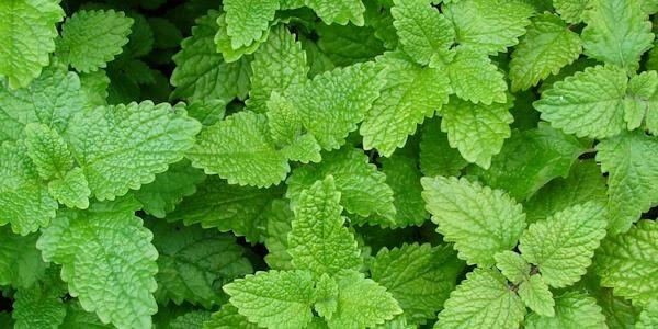 Folhas de erva-cidreira (melissa).