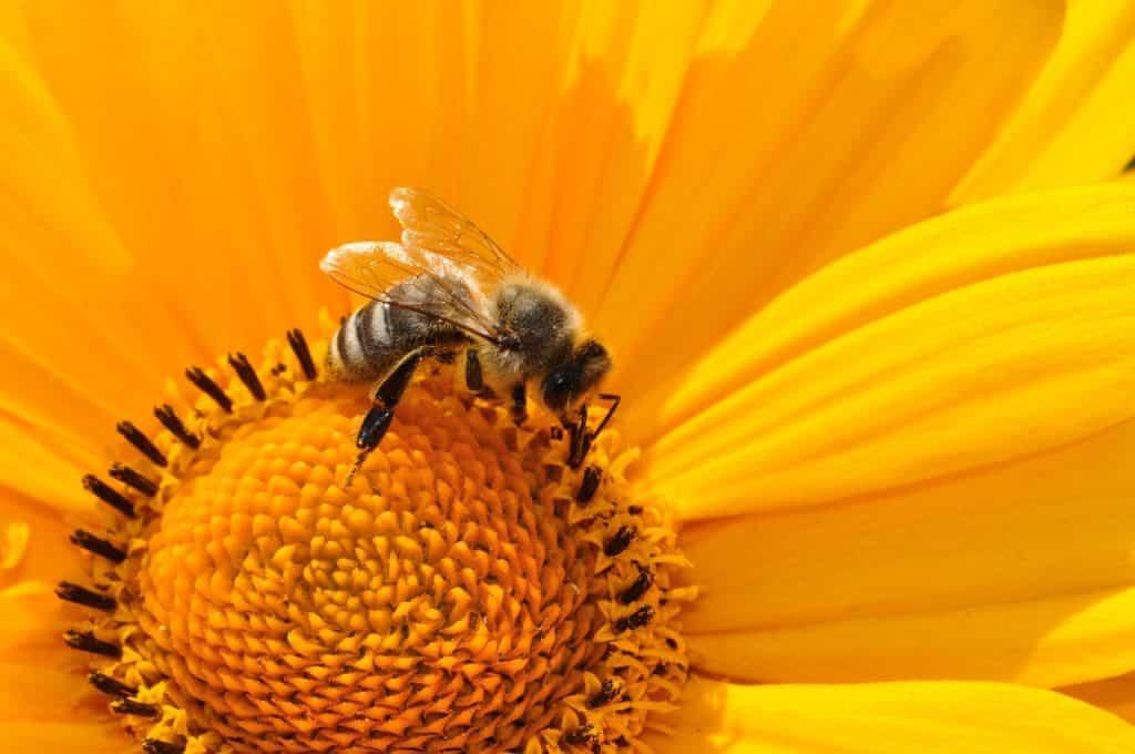 Abelha vista de perto sobre uma flor, coletando seu néctar.