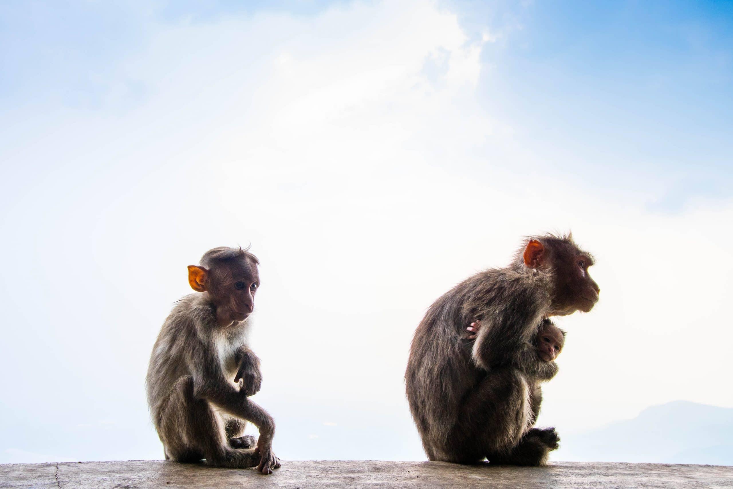 Macacos sentados