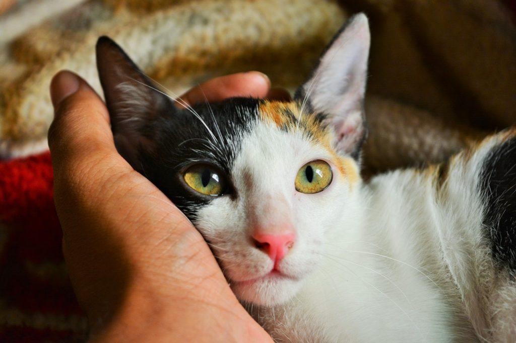 Mão de uma pessoa segurando a cabeça de um gato branco, preto e caramelo, de olhos verdes.