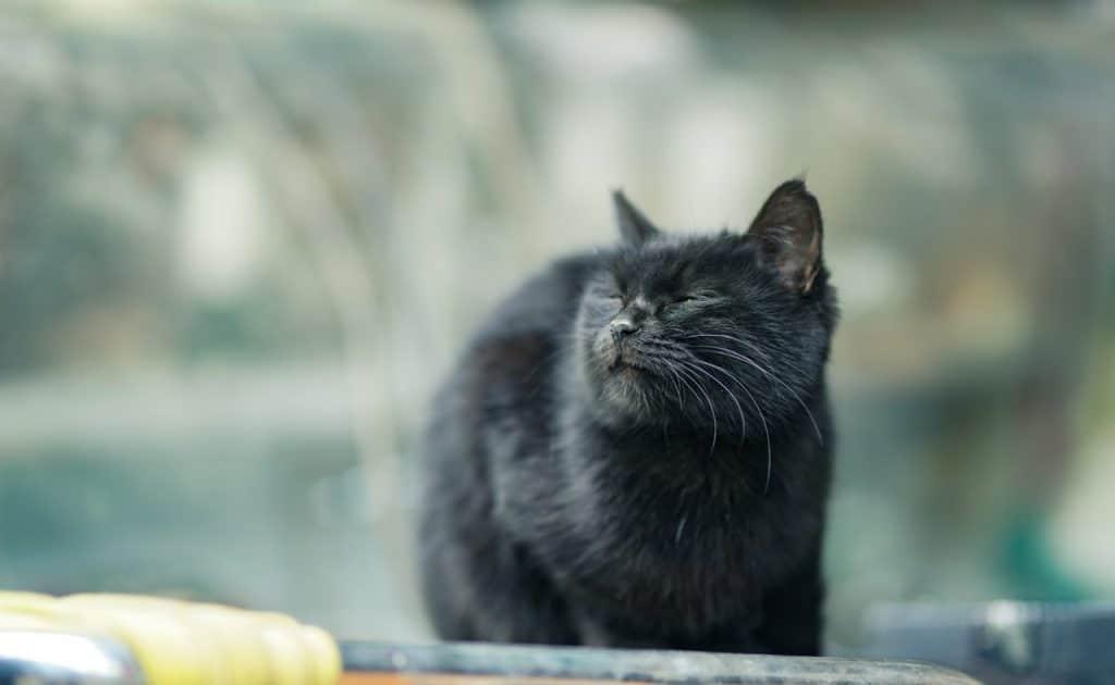Gato preto andando na rua olhando para algo com expressão desconfiada.