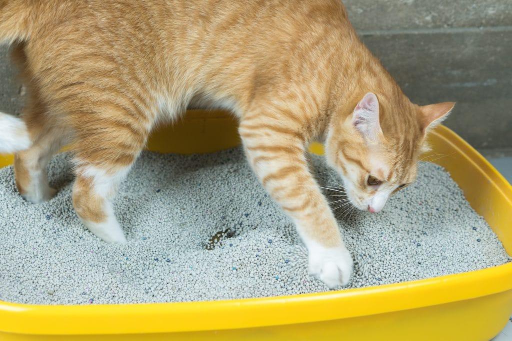 Gatinho laranja sobre a sua caixa de areia. Ele está organizando e enterrando as suas fezes.