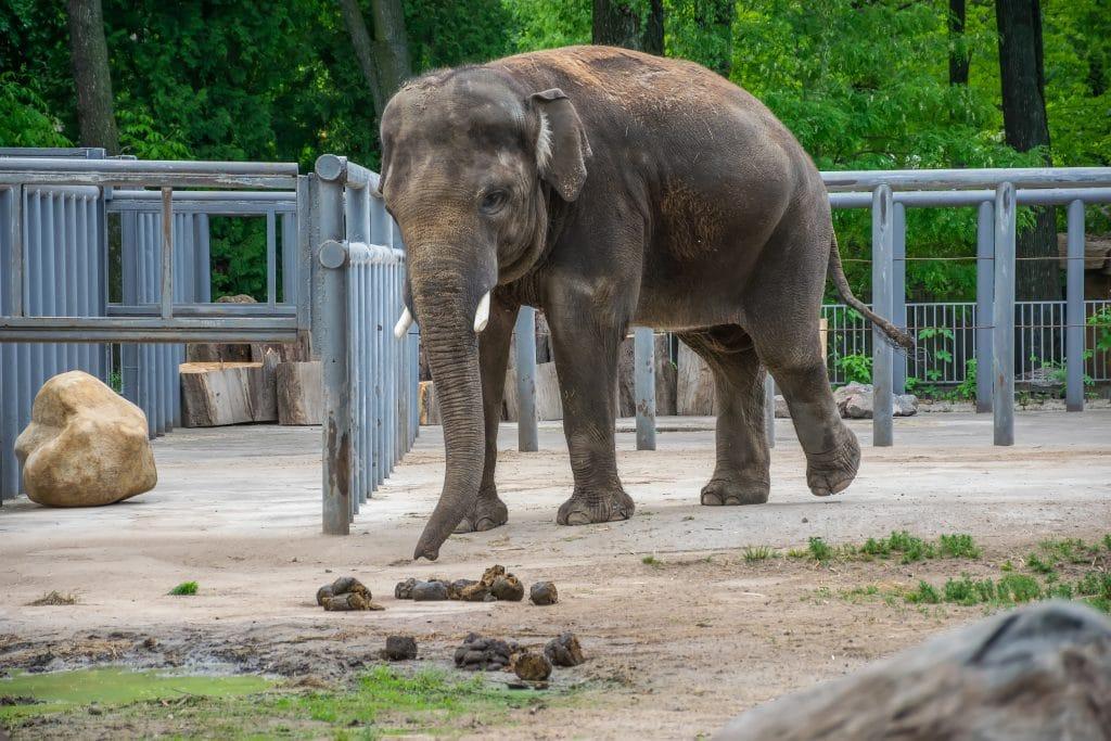 Elefante dentro de um espaço verde e cercado. Ele está cheirando as suas próprias fezes.