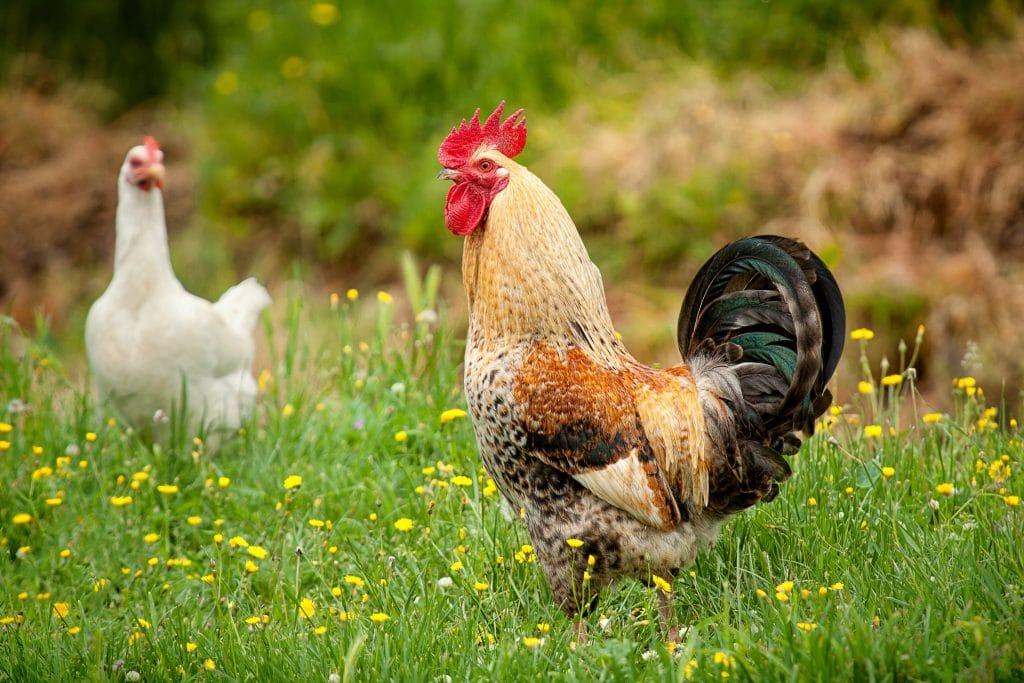 Galo e uma galinha branca interagindo em uma terreiro cheio de grama e flores amarelas.