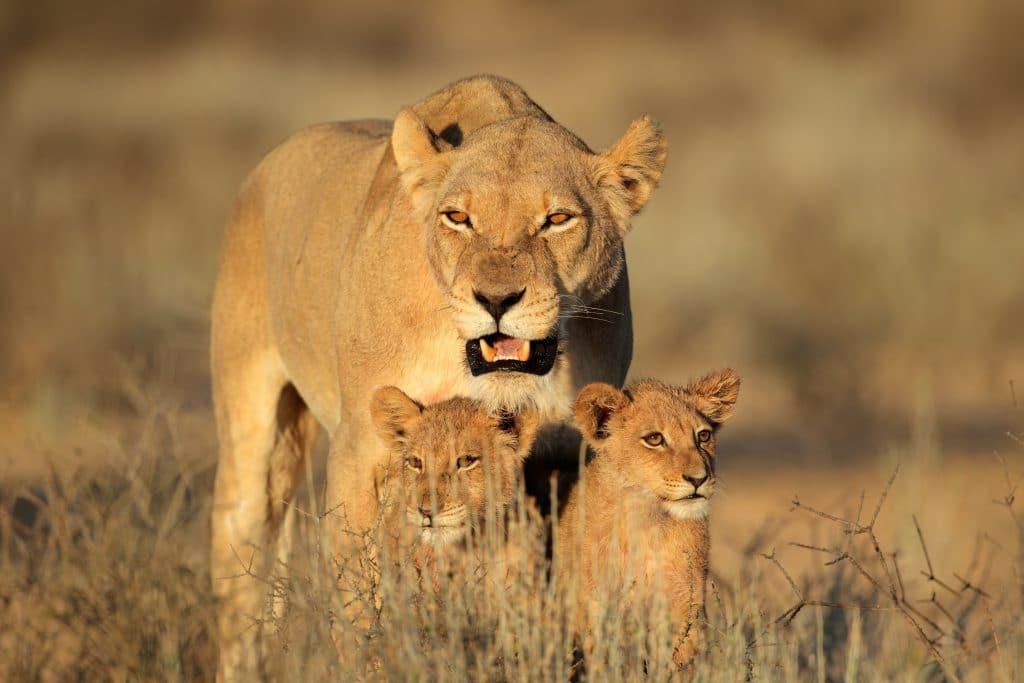 Uma leoa e seus dois filhotinhos. Ela está posicionada atrás deles.