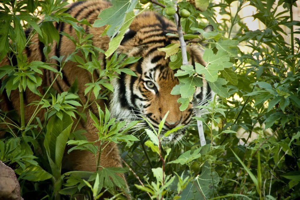 Tigre escondindo em uma folhagem. Ele está observando a sua vítima.