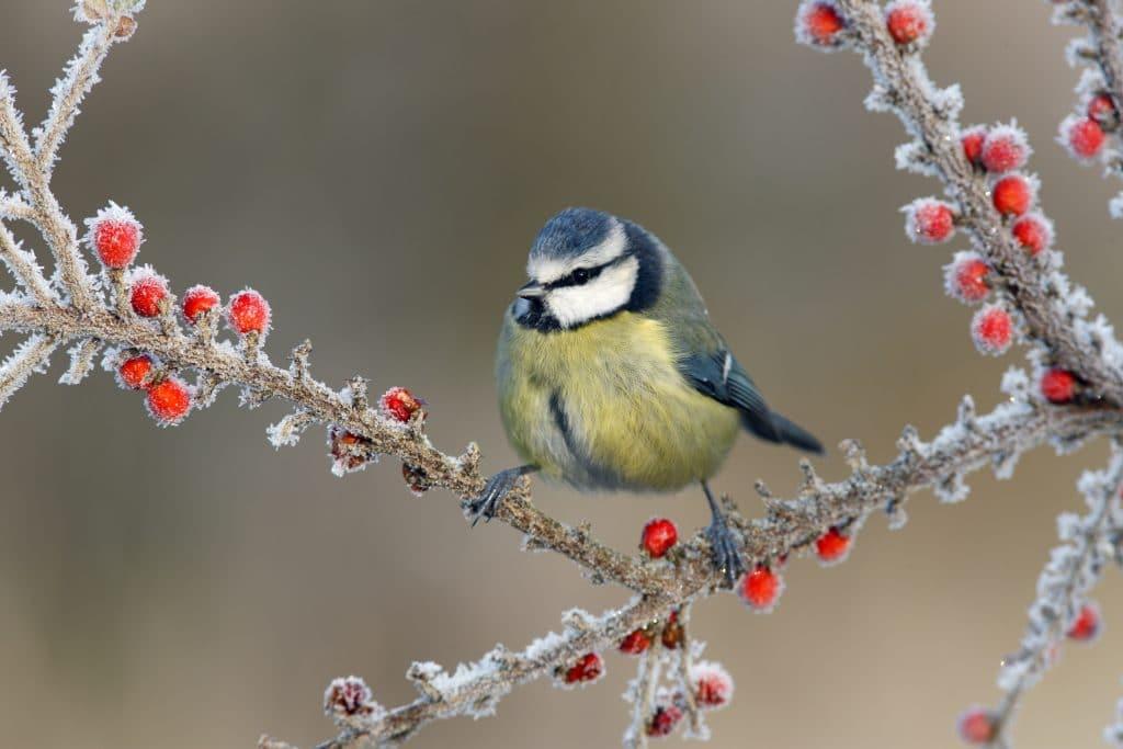 Passarinho pousado em galhos já começando a congelar devido ao rigoroso inverno.