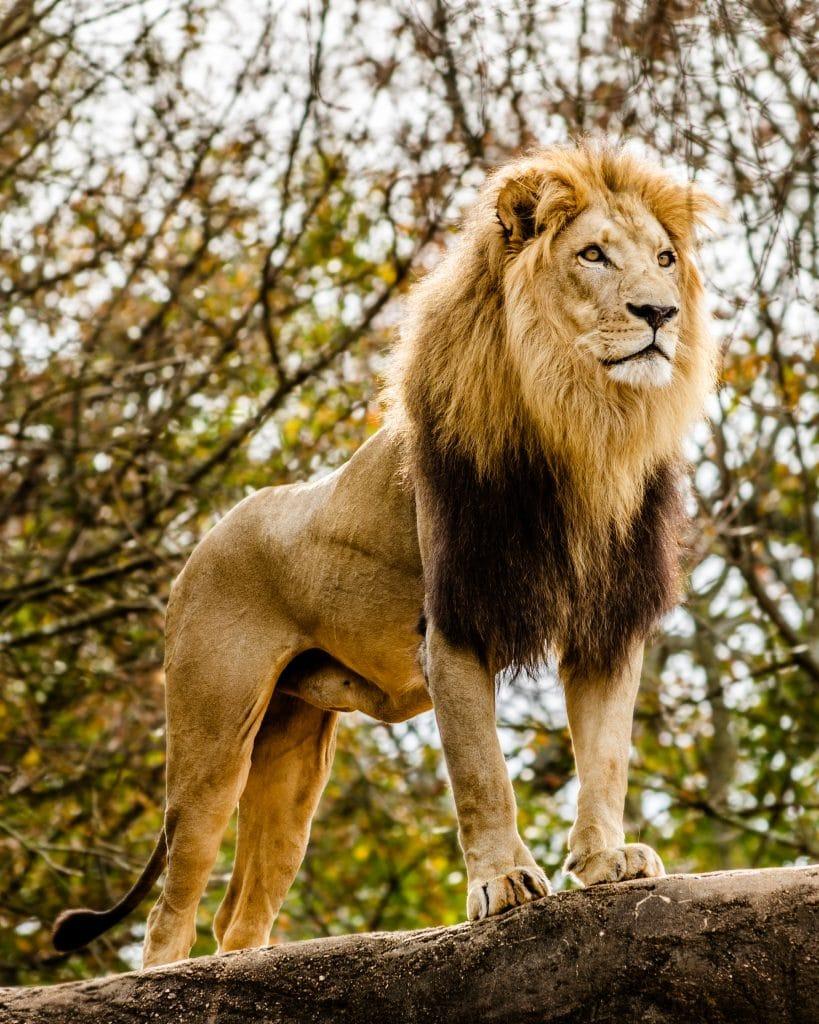 Leão solto na natureza. Ele está sobre uma pedra. Ao fundo dele uma árvore e galhos verdes.