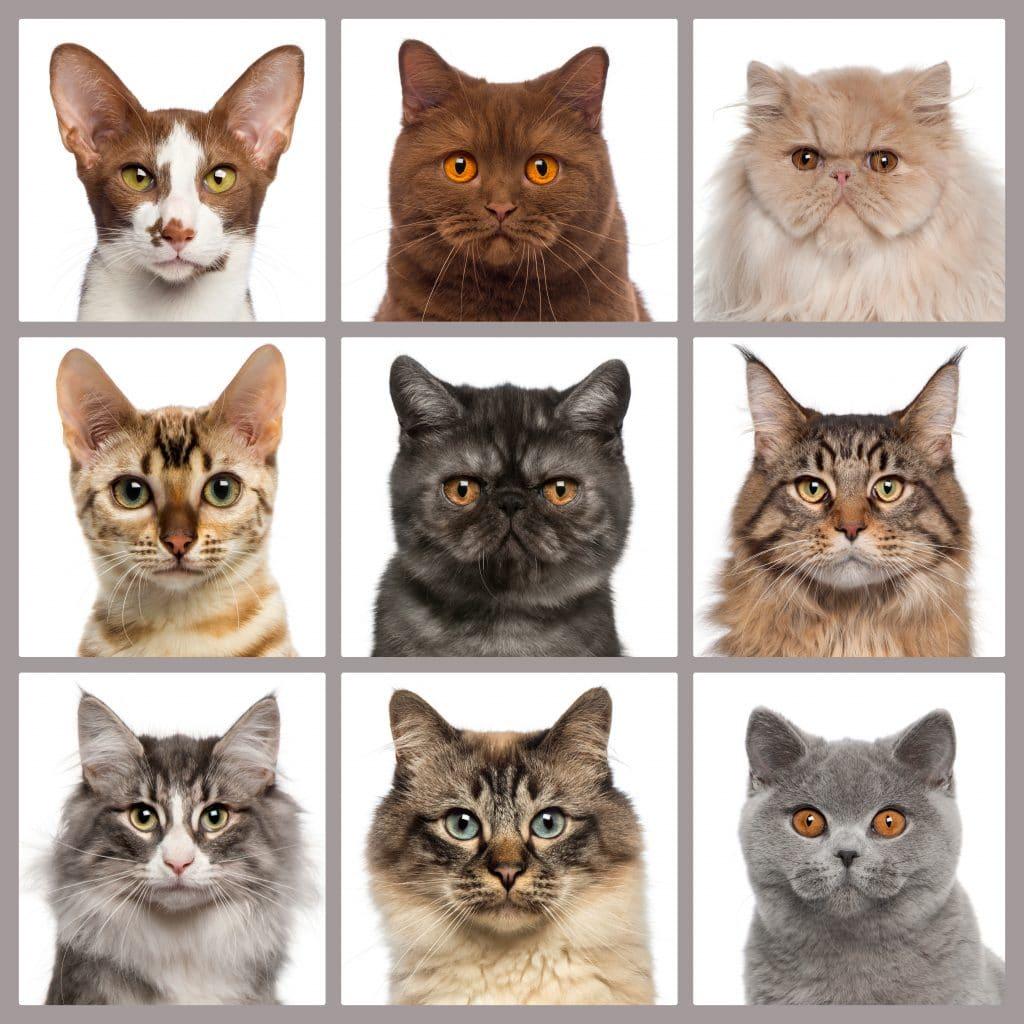 Imagem com nove tipos de gatos com cores, pelos e rostos diferentes.