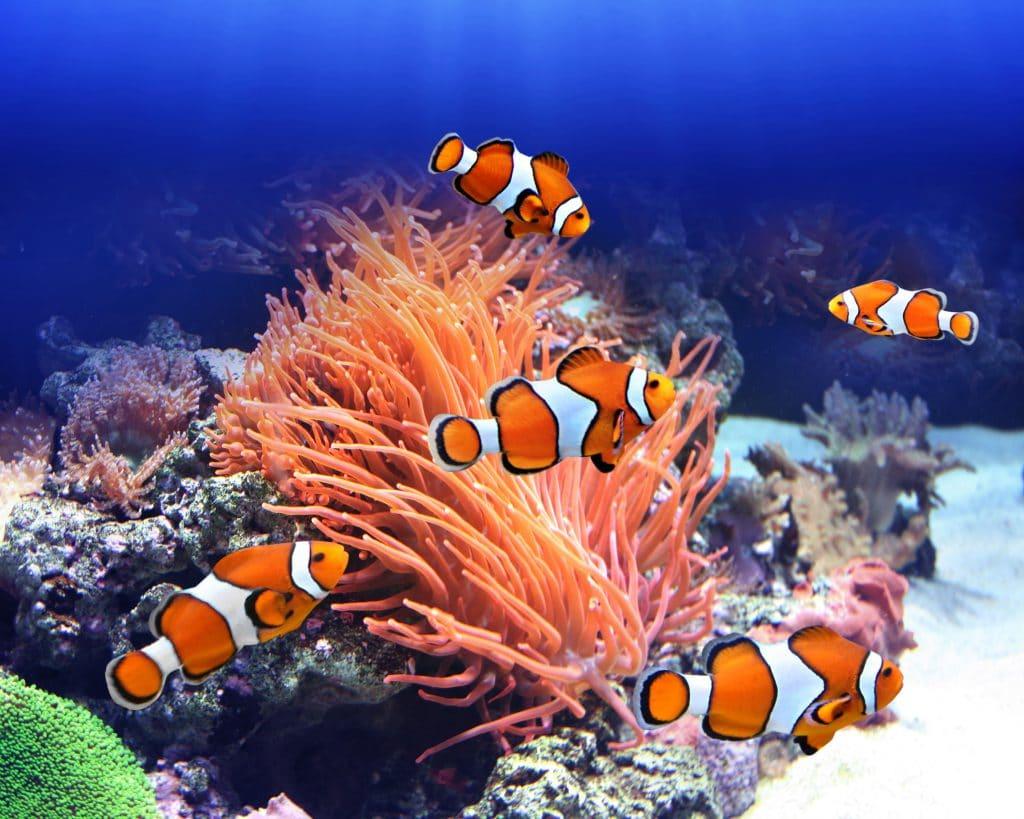 Cinco peixes listrados nas cores laranja e branco. Eles estão nadando no fundo do mar.