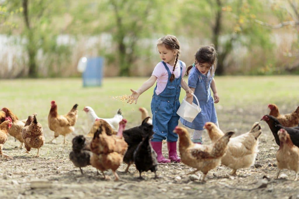 Várias galinhas nas cores amarelas, pretas e brancas no terreiros. Elas estão sendo alimentadas por duas meninas. Elas usam trança nos cabelos. Uma vesta um vestido jeans e a outra um macacão e um bota rosa de plástico.