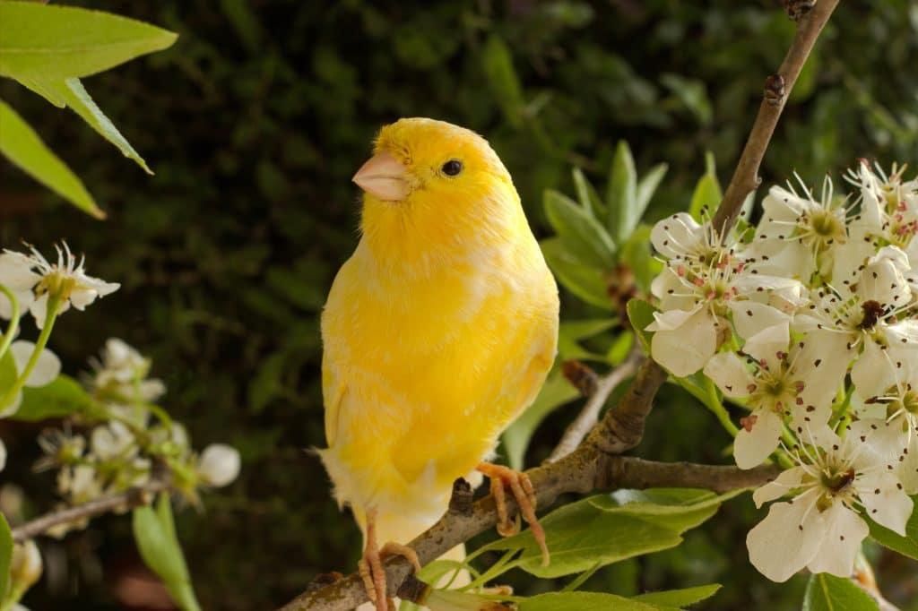 Lindo canarinho na cor amarela que pousou em um galho com flores brancas.