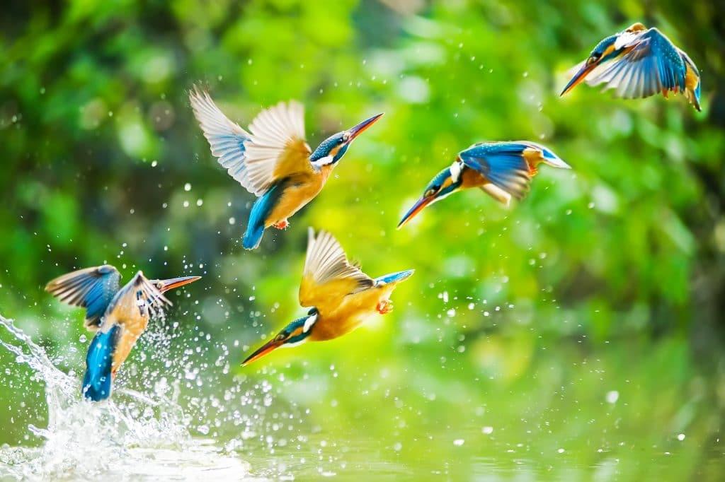 Quatro passarinhos nas cores amarelo, azul e branco. Eles estão se banhando em uma água limpinha de um rio e voando ao mesmo tempo.