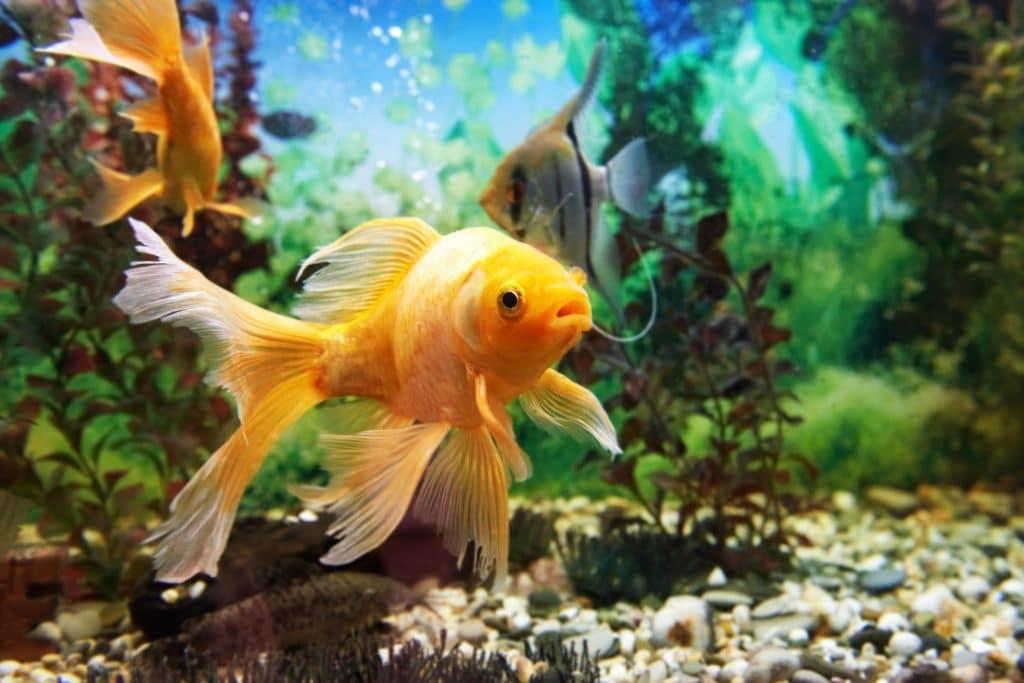 Peixe amarelo nadando no fundo do oceado azul.