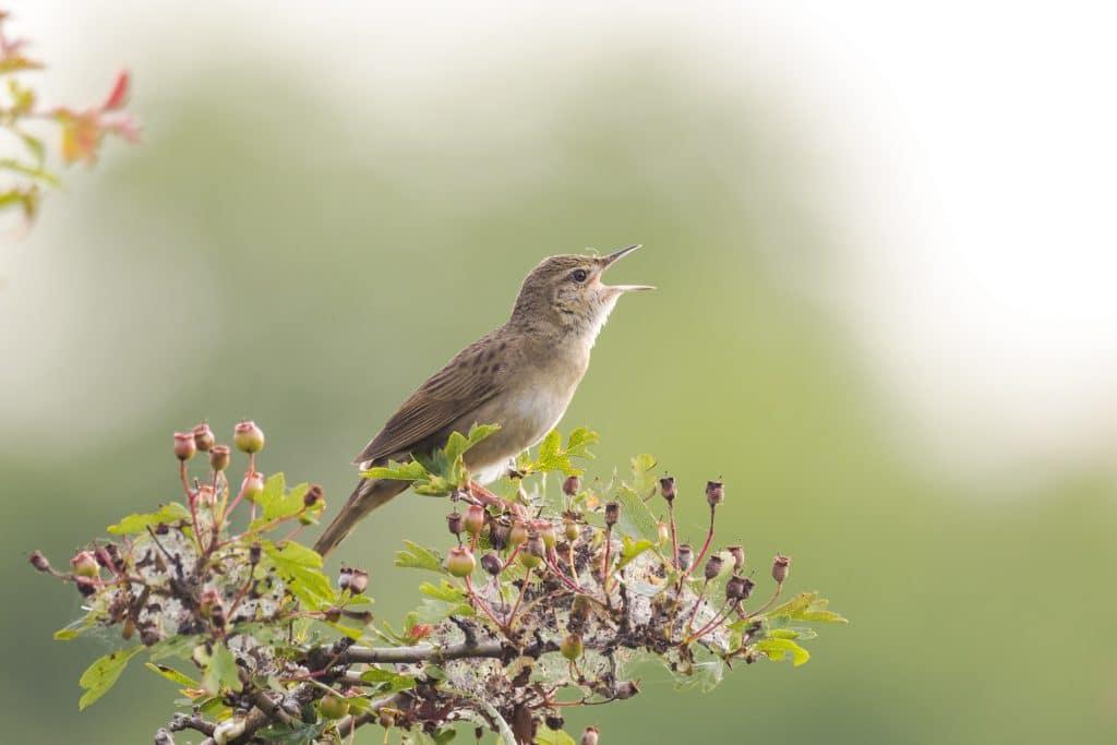Imagem de um passarinho cantando. Ele está sobre um galho todo florido.