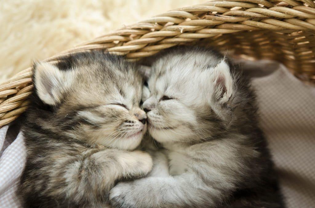 Filhotes de dois gatinhos na cor cinza. Ambos estão dormindo dentro de um cesto de palha bege claro. Eles estão bem juntinhos um virado para o outro.