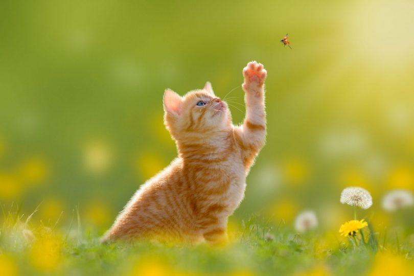 Filhote de gato laranja tenta pegar joaninha voando com uma pata.