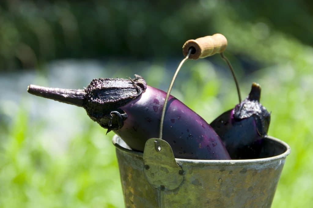 Berinjelas que acabaram de serem colhidas. Estão dentro de um balde de ferro antigo. Ao fundo uma plantação do legume.