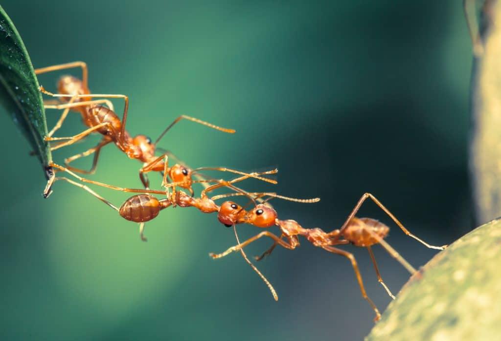 Três formigas em fila. São grandes e uma delas está carregando uma folha.