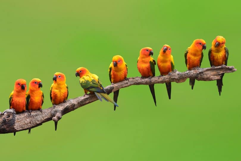 Nove canarinhos na cor laranja. Todos eles estão pousados sobre um galho de árvore seco.