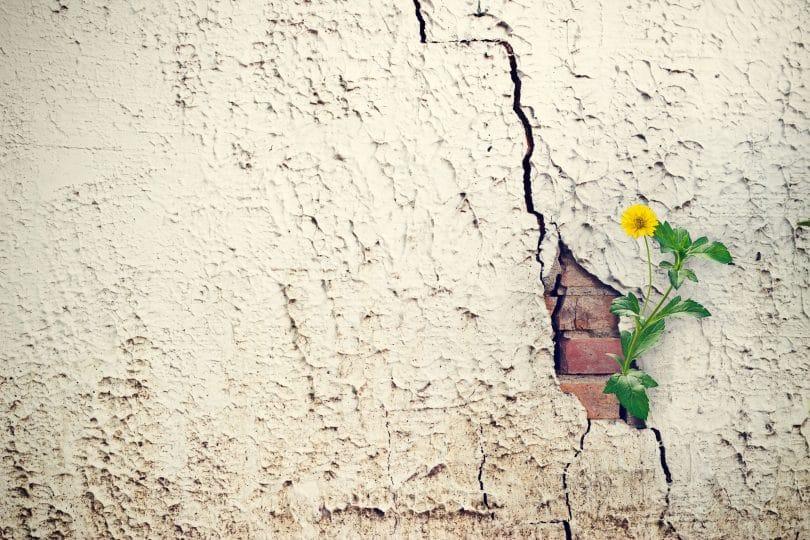 Flor amarela renascendo em muro