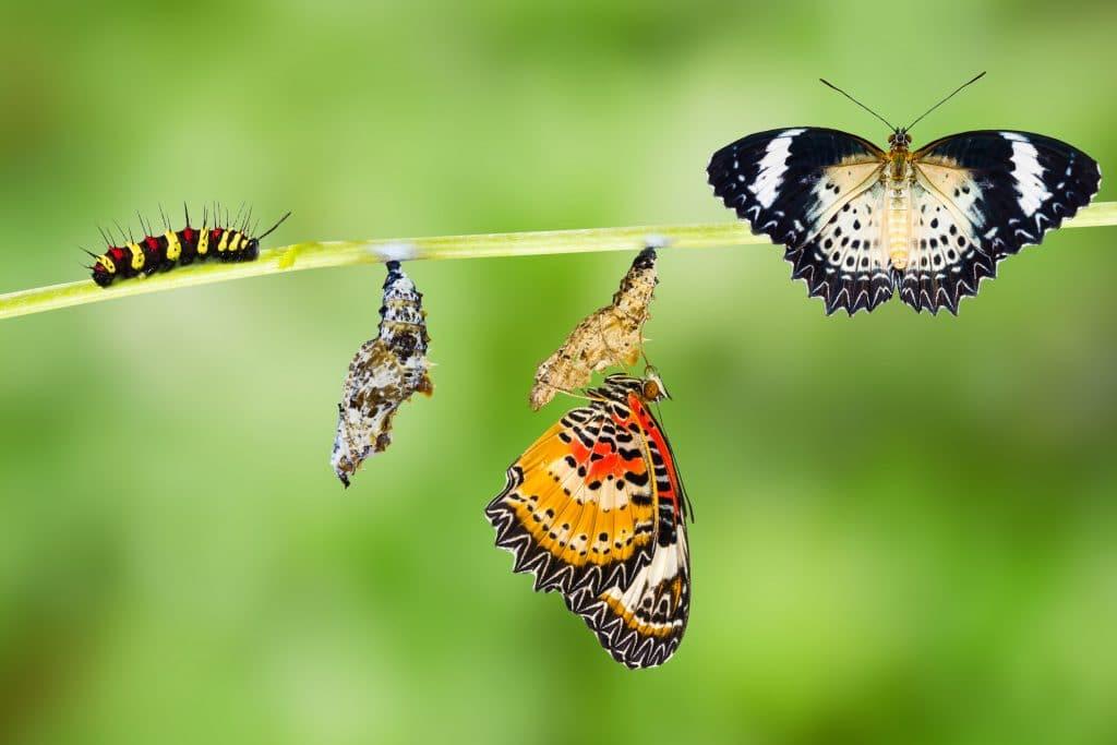 Várias lagartas em seu processo de transformação e algumas borboletas sobre um galho.
