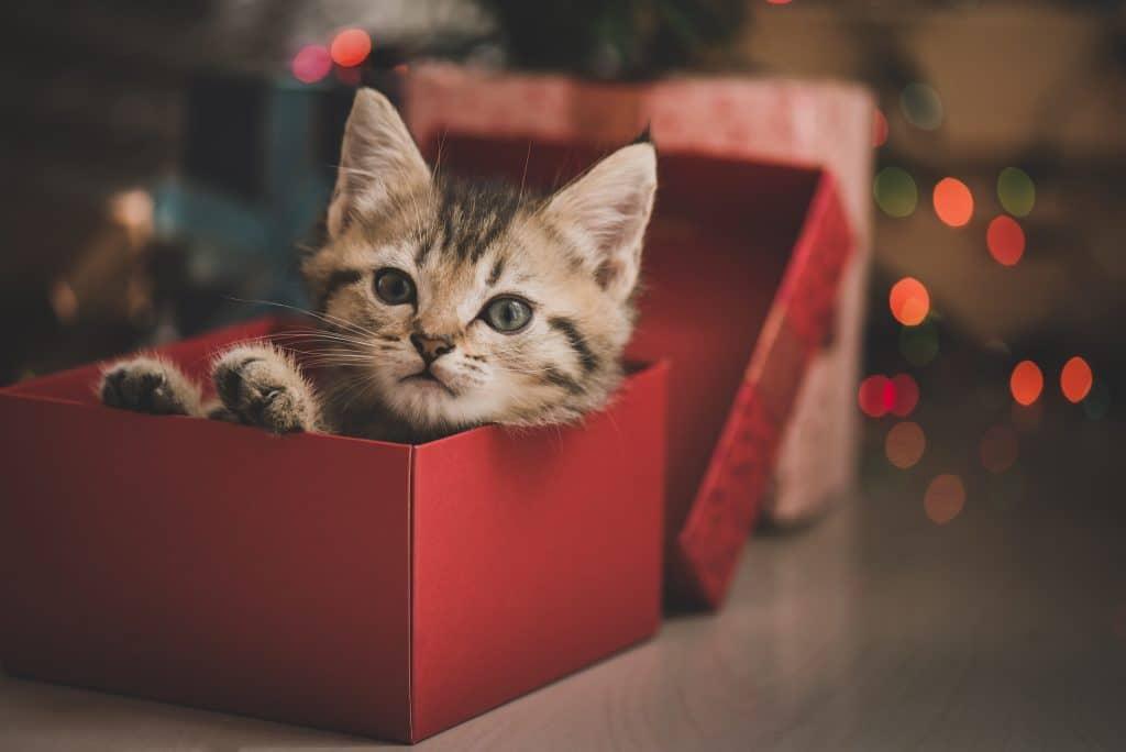 Filhote de gato dentro de uma caixa de presentes na cor vermelha. A caixa está aberta e o gatinho está com a cabecinha pra fora e os olhos bem abertos.